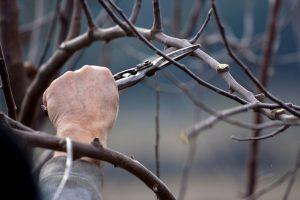 Pomona Tree Pruning