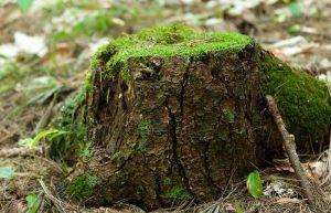 Pomona tree stump with moss